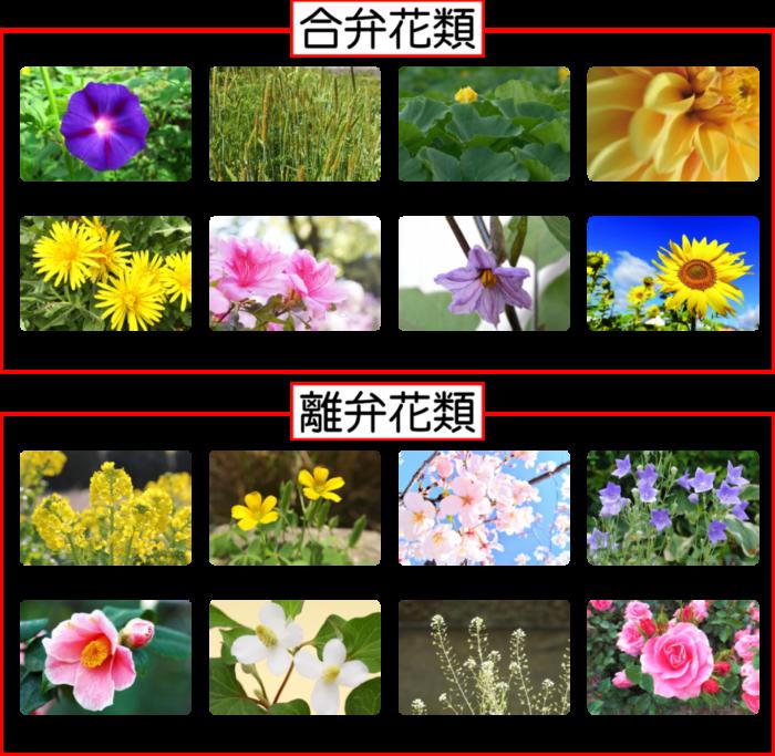 ツツジの標本をつくって花のつくりを調べよう!【合弁花類・離弁花類】